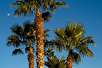 /images/133/2008-12-09-tempe-kiwanis-palms-60934.jpg - #06389: Palm Trees at Kiwanis Park … December 2008 -- Kiwanis Park, Tempe, Arizona