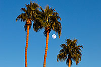 /images/133/2008-12-10-tempe-kiwanis-palms-61378.jpg - #06403: Palm Trees and moon at Kiwanis Park … December 2008 -- Kiwanis Park, Tempe, Arizona