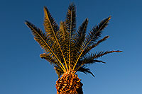/images/133/2008-12-10-tempe-kiwanis-palms-61422.jpg - #06405: Queen Palm at Kiwanis Park … December 2008 -- Kiwanis Park, Tempe, Arizona
