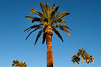 /images/133/2008-12-21-mesa-pioneer-palms-65517.jpg - #06510: Palm Trees at Pioneer Park at Main St in Mesa … December 2008 -- Pioneer Park, Mesa, Arizona