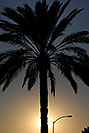 /images/133/2008-12-28-mesa-temple-palm-68536v.jpg - #06643: Palm at sunset at Mesa Arizona Temple … December 2008 -- Mesa Arizona Temple, Mesa, Arizona