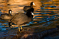 /images/133/2009-01-14-gilbert-freestone-75966.jpg - #06893: American Coots at Freestone Park … January 2009 -- Freestone Park, Gilbert, Arizona