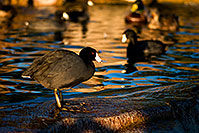/images/133/2009-01-14-gilbert-freestone-75974.jpg - #06894: American Coots at Freestone Park … January 2009 -- Freestone Park, Gilbert, Arizona