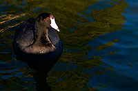 /images/133/2009-01-16-gilbert-free-coots-76535.jpg - #06915: American Coots at Freestone Park … January 2009 -- Freestone Park, Gilbert, Arizona