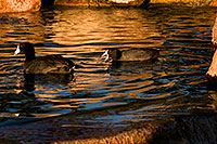 /images/133/2009-01-16-gilbert-free-coots-76608.jpg - #06916: American Coots at Freestone Park … January 2009 -- Freestone Park, Gilbert, Arizona