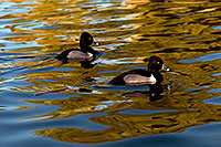 /images/133/2009-01-16-gilbert-free-ducks-76468.jpg - #06919: Ring-necked Ducks [males] at Freestone Park … January 2009 -- Freestone Park, Gilbert, Arizona