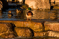 /images/133/2009-01-16-gilbert-free-ducks-76520.jpg - #06924: Mallard Ducks [male in front] at Freestone Park … January 2009 -- Freestone Park, Gilbert, Arizona