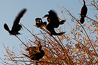 /images/133/2009-01-17-gilbert-rip-corm-76865.jpg - #06933: Cormorants at Riparian Preserve … January 2009 -- Riparian Preserve, Gilbert, Arizona