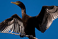 /images/133/2009-01-24-gilb-rip-corm-79347.jpg - #06976: Cormorant at Riparian Preserve … January 2009 -- Riparian Preserve, Gilbert, Arizona