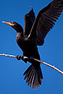 /images/133/2009-01-24-gilb-rip-corm-79351v.jpg - #06978: Cormorant at Riparian Preserve … January 2009 -- Riparian Preserve, Gilbert, Arizona