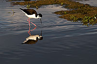 /images/133/2009-01-24-gilb-rip-stilts-78837.jpg - #06985: Black Necked Stilt at Riparian Preserve … January 2009 -- Riparian Preserve, Gilbert, Arizona