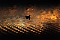 /images/133/2009-01-24-gilbert-rip-morning-78509.jpg - #06964: American Coot in the first light at Riparian Preserve … January 2009 -- Riparian Preserve, Gilbert, Arizona