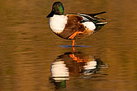 /images/133/2009-01-25-gilbert-rip-ducks-80095.jpg - Birds > Northern Shovelers
