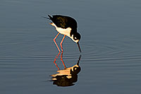 /images/133/2009-01-25-gilbert-rip-stilts-80025.jpg - #07006: Black Necked Stilt reflection at Riparian Preserve … January 2009 -- Riparian Preserve, Gilbert, Arizona
