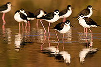 /images/133/2009-01-25-gilbert-rip-stilts-80113.jpg - #07010: Black Necked Stilts at Riparian Preserve … January 2009 -- Riparian Preserve, Gilbert, Arizona