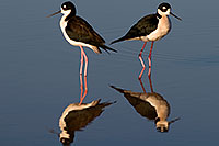 /images/133/2009-01-25-gilbert-rip-stilts-80161.jpg - #07013: 2 Black Necked Stilts at Riparian Preserve … January 2009 -- Riparian Preserve, Gilbert, Arizona