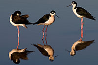 /images/133/2009-01-25-gilbert-rip-stilts-80201.jpg - #07014: 3 Black Necked Stilts at Riparian Preserve … January 2009 -- Riparian Preserve, Gilbert, Arizona