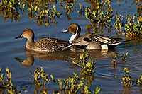 /images/133/2009-01-27-gilb-rip-ducks-81875.jpg - #07045: Northern Pintails couple at Riparian Preserve … January 2009 -- Riparian Preserve, Gilbert, Arizona