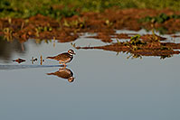 /images/133/2009-01-27-gilb-rip-killdeer-81763.jpg - #07051: Killdeer at Riparian Preserve … January 2009 -- Riparian Preserve, Gilbert, Arizona