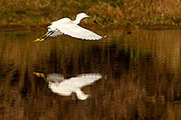 /images/133/2009-01-27-gilb-rip-snowy-81729.jpg - #07062: Snowy Egret in flight at Riparian Preserve … January 2009 -- Riparian Preserve, Gilbert, Arizona