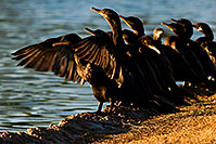 /images/133/2009-01-28-freestone-corm-82248.jpg - #07062: Cormorants at Freestone Park … January 2009 -- Freestone Park, Gilbert, Arizona
