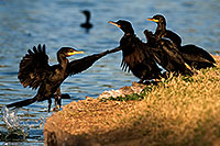/images/133/2009-01-28-freestone-corm-82377.jpg - #07063: Cormorants at Freestone Park … January 2009 -- Freestone Park, Gilbert, Arizona