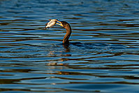 /images/133/2009-01-28-freestone-corm-82409.jpg - #07064: Cormorant fishing at Freestone Park … January 2009 -- Freestone Park, Gilbert, Arizona