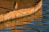 /images/133/2009-01-28-freestone-green-82182.jpg - #07070: Green Heron at Freestone Park … January 2009 -- Freestone Park, Gilbert, Arizona
