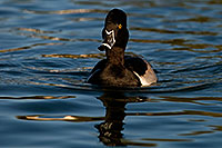/images/133/2009-01-29-freestone-diving-83030.jpg - #07077: Ring-necked Duck at Freestone Park … January 2009 -- Freestone Park, Gilbert, Arizona