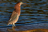 /images/133/2009-01-29-freestone-green-83274.jpg - #07076: Green Heron at Freestone Park … January 2009 -- Freestone Park, Gilbert, Arizona