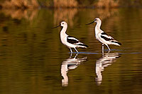 /images/133/2009-01-31-riparian-avocets-84867.jpg - #07080: Avocets at Riparian Preserve … January 2009 -- Riparian Preserve, Gilbert, Arizona
