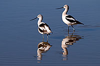 /images/133/2009-02-01-riparian-avocets-86019.jpg - #07094: Avocets at Riparian Preserve … February 2009 -- Riparian Preserve, Gilbert, Arizona