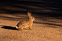 /images/133/2009-02-01-riparian-cottontail-86136.jpg - #07099: Desert Cottontail at Riparian Preserve … February 2009 -- Riparian Preserve, Gilbert, Arizona