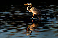 /images/133/2009-02-04-riparian-herons-88264.jpg - #07128: Great Blue Heron at Riparian Preserve … February 2009 -- Riparian Preserve, Gilbert, Arizona