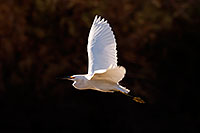 /images/133/2009-02-07-riparian-snowy-90019.jpg - #07160: Snowy Egret in flight at Riparian Preserve … February 2009 -- Riparian Preserve, Gilbert, Arizona