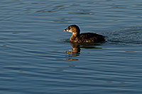 /images/133/2009-02-12-riparian-grebes-93341.jpg - #07200: Pied-billed Grebe at Riparian Preserve … February 2009 -- Riparian Preserve, Gilbert, Arizona