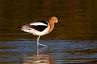 /images/133/2009-02-19-riparian-avocets-98080.jpg - #07256: Avocet in breeding plumage at Riparian Preserve … February 2009 -- Riparian Preserve, Gilbert, Arizona
