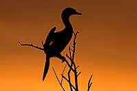 /images/133/2009-02-20-riparian-cormorant-40d_0593.jpg - #07274: Neotropic Cormorant at sunset at Riparian Preserve … February 2009 -- Riparian Preserve, Gilbert, Arizona