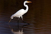 /images/133/2009-02-21-riparian-egrets-d40_1550.jpg - #07281: Great Egret at Riparian Preserve … February 2009 -- Riparian Preserve, Gilbert, Arizona