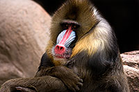 /images/133/2009-02-22-phxzoo-mandrill-40d_2507.jpg - #07288: Mandrill [male] at Phoenix Zoo … February 2009 -- Phoenix Zoo, Phoenix, Arizona