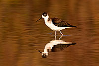 /images/133/2009-02-24-riparian-stilts-40d_3615.jpg - #07305: Black Necked Stilt at Riparian Preserve … February 2009 -- Riparian Preserve, Gilbert, Arizona
