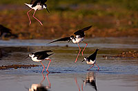 /images/133/2009-02-24-riparian-stilts-40d_3625.jpg - #07306: Black Necked Stilts fighting at Riparian Preserve … February 2009 -- Riparian Preserve, Gilbert, Arizona