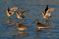 /images/133/2009-02-26-riparian-dowitchers-100034.jpg - #07336: Long-billed Dowitchers at Riparian Preserve … February 2009 -- Riparian Preserve, Gilbert, Arizona