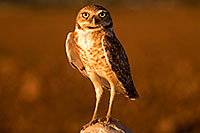 /images/133/2009-07-06-queen-owl-105443.jpg - #07405: Burrowing Owl in Queen Creek … July 2009 -- Queen Creek, Arizona