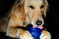 /images/133/2009-07-15-gilbert-izzy-106213.jpg - #07415: Izzy (Golden Retriever) with a toy - 2 years old … July 2009 -- Gilbert, Arizona