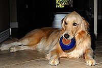 /images/133/2009-07-15-gilbert-izzy-106261.jpg - #07416: Izzy (Golden Retriever) with a toy - 2 years old … July 2009 -- Gilbert, Arizona