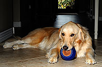 /images/133/2009-07-15-gilbert-izzy-106262.jpg - #07417: Izzy (Golden Retriever) with a toy - 2 years old … July 2009 -- Gilbert, Arizona