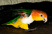 /images/133/2009-07-18-cavecreek-bird-106458.jpg - #07421: Parrot in Cave Creek … July 2009 -- Cave Creek, Arizona