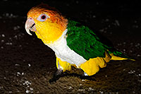 /images/133/2009-07-18-cavecreek-bird-106480.jpg - #07422: Parrot in Cave Creek … July 2009 -- Cave Creek, Arizona