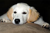 /images/133/2009-08-28-gilbert-morn-bella-110312.jpg - #07433: Bella (3 months old) on a pillow … August 2009 -- Gilbert, Arizona